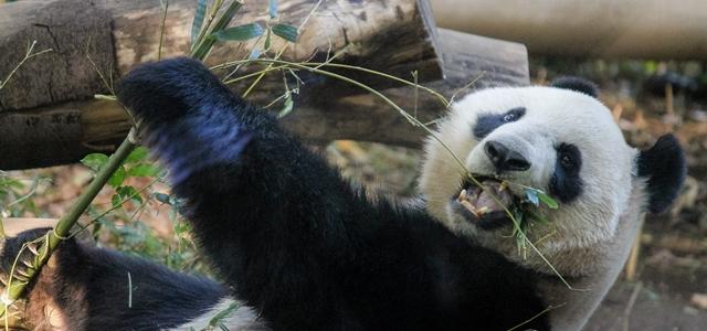 パンダは実はクマの仲間
