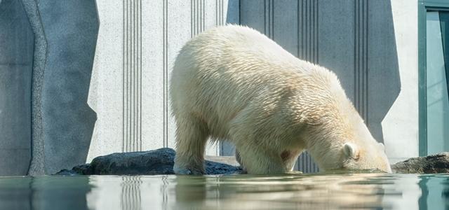 水に頭を入れるシロクマ